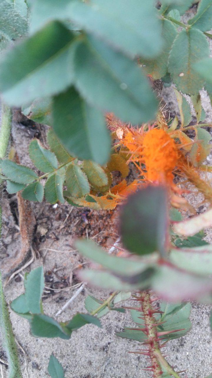 oranje poederachtig