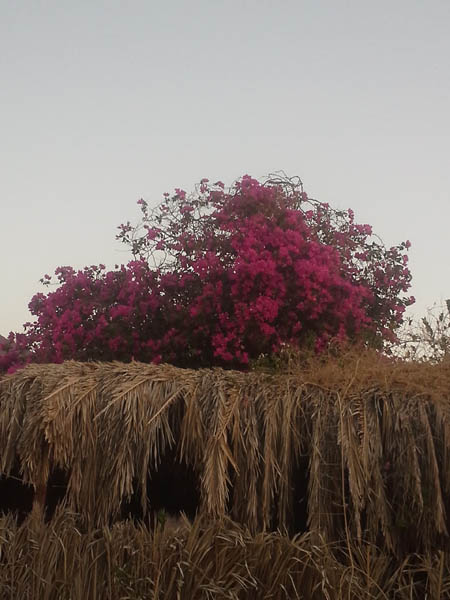 2015. Bougainville in Yasmina